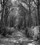 The pinewood Black and white version by FrancescaDelfino