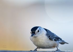 White Breasted Nuthatch - Visiting by JestePhotography