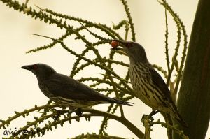 Asian Starlings by avarenity