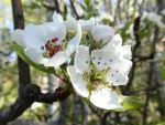 Pear Blossom I by mirrorage
