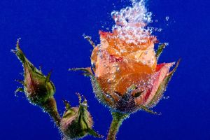 Rose underwater with torrent by akadime