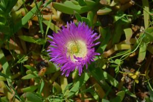 Hottentot Fig (Carpobrotus edulis) by Kiloueka