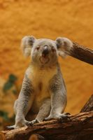 Koala 2 by landkeks-stock
