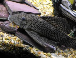 Rage - Common Pleco by Stirk-Bostaurus