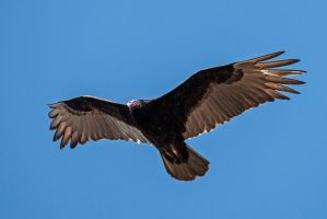 Turkey Vulture by in-my-viewfinder