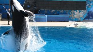 Killer whale by ColderPlay