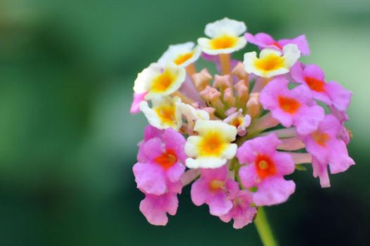 Lantana - Irene 2 by sara-satellite