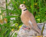 Barbary Dove by Faunamelitensis