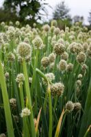 Botanical Gardens: Chives by TheDemolitionist