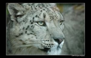 Snow Leopard by grugster