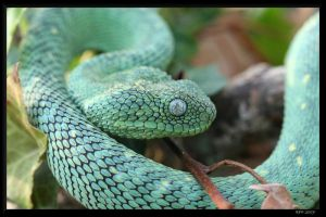 Atheris chlorechis 2 by BPFischer