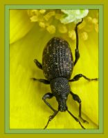 Vine Weevil by iriscup