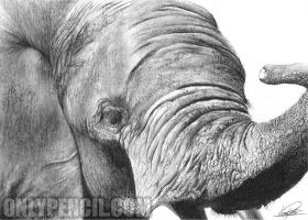 Elephant by chandito