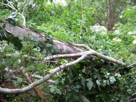 Tropical Storm Debby Claims Another Tree. by Dream-finder