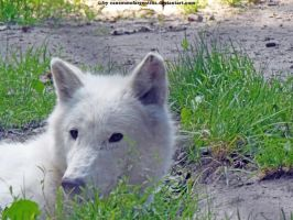 Arctic wolf 8 by Cansounofargentina