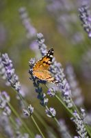 summer butterfly by IgorKlajo