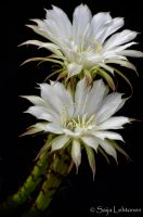White Cactus Flowers by CeeThruMyEyes