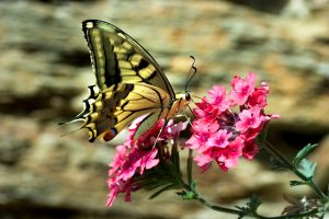 One more old world swallowtail by camabs