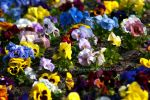 Pansies by Ophelia-Yvaine