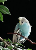 Mr. Jill Budgie by calzephyr