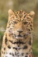 Portrait of an Amur Leopard. by Ravenith