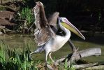 Pelican by searchmysoulforfire