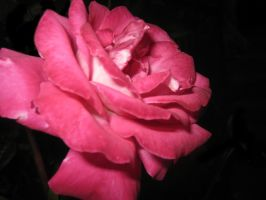 Rose Essentielle by Thue