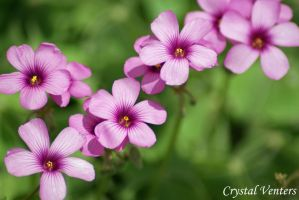 Pink Clover Flowers 1 by poetcrystaldawn