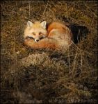 What Time Is It Mr.Fox? by Sarah--Lynne