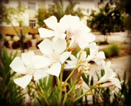 White Flowers by katieqatar