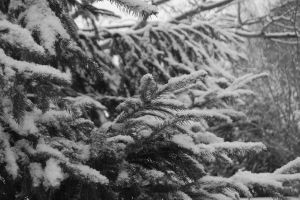 Snow Covered Evergreen by Evangilyna