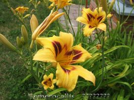 Hemerocallis ??????? by Xantipa2