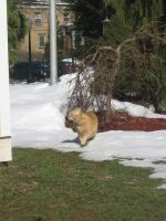 orange cat in snow 05 by CotyStock