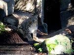 Snow leopard XIII by Cansounofargentina