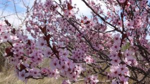 Spring Blossoms Stock 1 by Ox3ArtStock