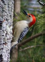 Red-Bellied Woodpecker II by sunflowervlg