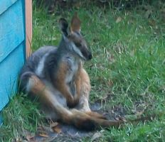 Chill Wallaby - Close Up by Crimsonpelt