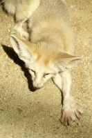 Fennec Fox 002 by MonsterBrand-stock