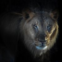 Lion from the shadows by nigel3