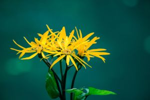 Yellow flower by Xares84