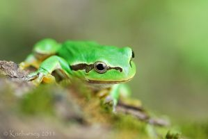Hyla arborea VI by Dark-Raptor