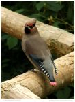 Surprised Japanese Waxwing by In-the-picture