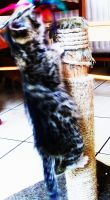 kitty climbing scratching post by shadowburn88