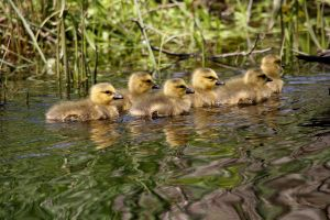 Canada Geese Gosling 6 pack by natureguy