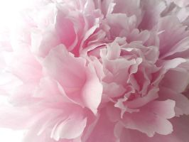 Peony Pink by KalaArt
