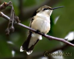 Humming bird 2 by Gooiool