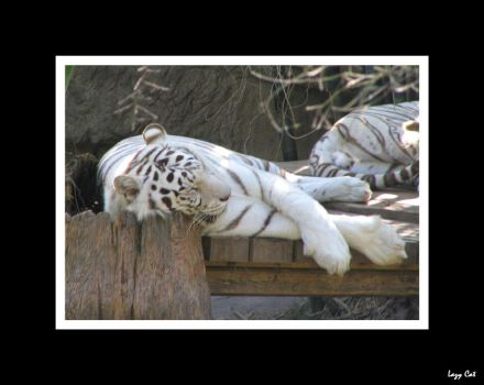 White Tigers by OutlawedPariah
