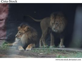 Lion 4 by Ceta-Stock