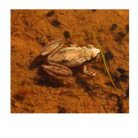 Polaroid: Plains Brown Tree Frog by darkened-storm