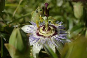 Passionfruit Flower 3 by FallowpenStock